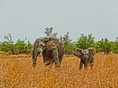 Two elephants in a field in Togo, Africa