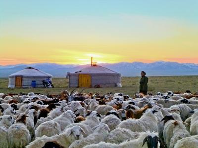 A Mongolian nomad with his sheep