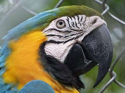 Blue and gold macaw in Peruvian Rainforest