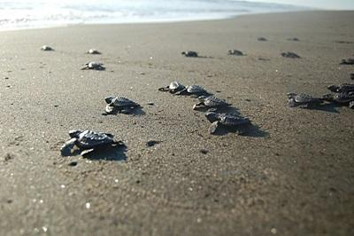 Turtle hatchlings are released into the ocean in Mexico