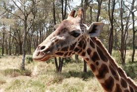 A giraffe poses for a picture in Kenya