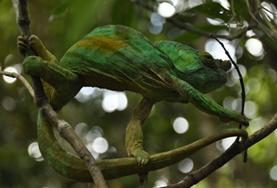 A chameleon is pictured at a Conservation and Community placement in Madagascar